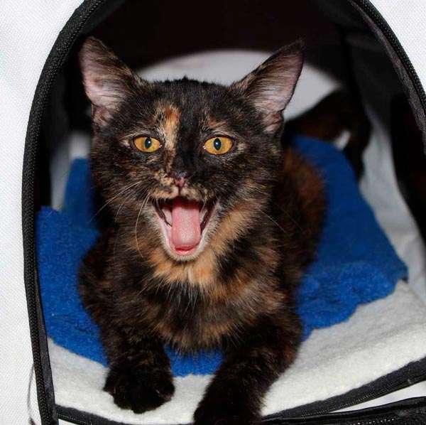 Pequeña gatita carrey color negro con dorado
