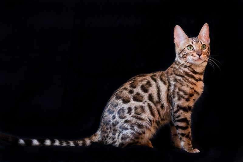 Hermoso Gato Bengalí