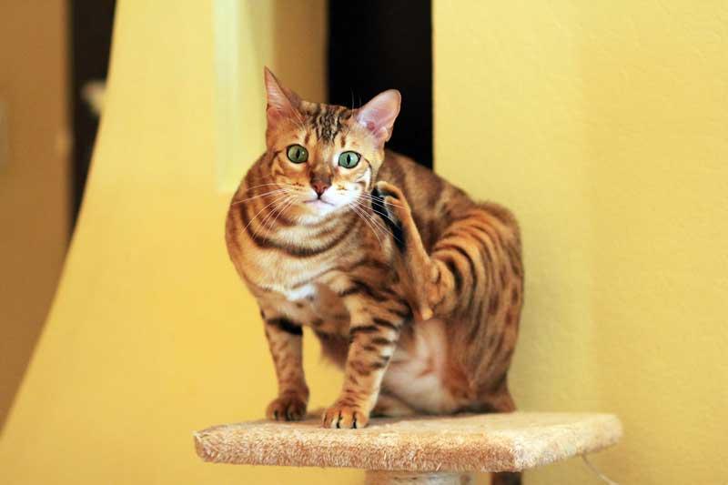 Gato bengalí rascándose