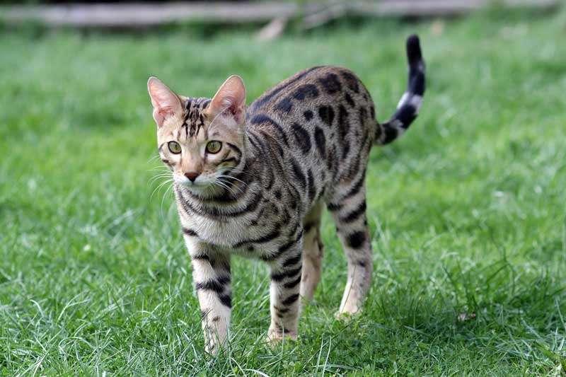 Gato Bengalí de paseo sobre el pasto