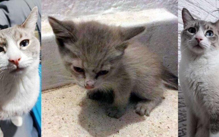 Historia del Sr. Piccoros: Gatito rescatado de morir