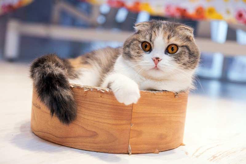 Gato Munchkin curioso
