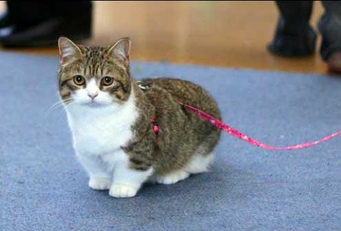Gato Munchkin pequeño