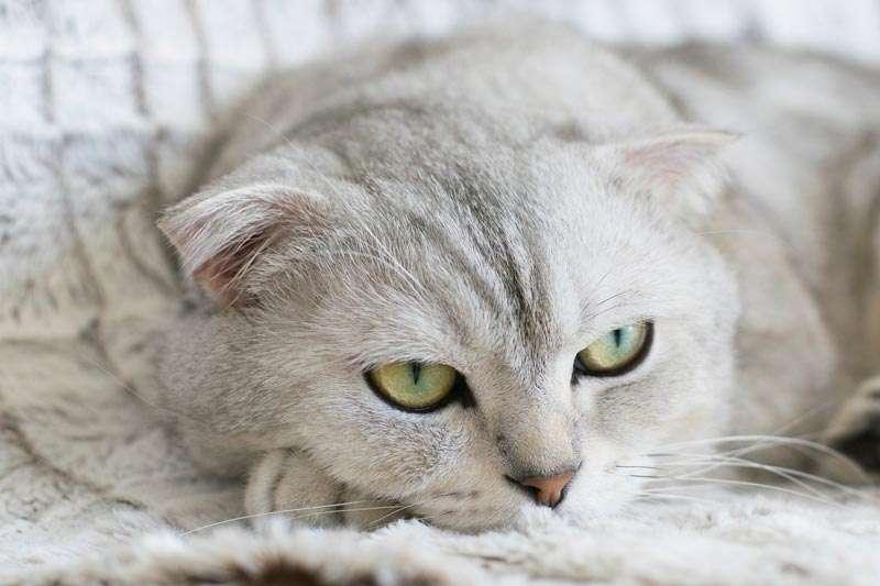 Gato blanco enfermo