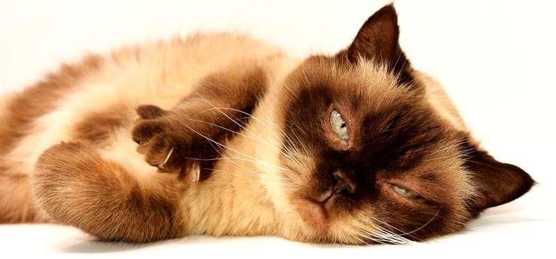 Gato enfermo recostado