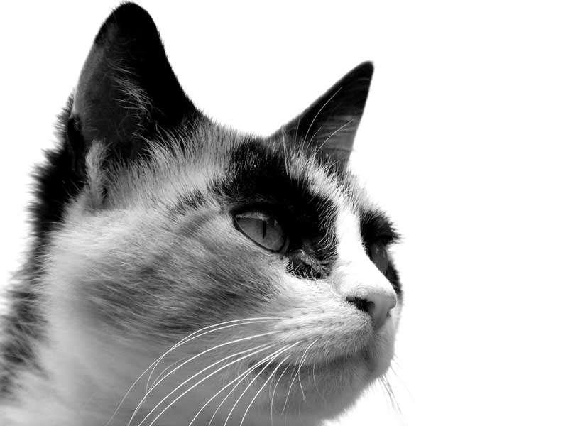 Gato adulto, blanco y negro