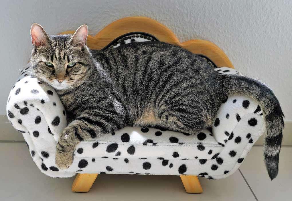 Gato adulto en el sofá