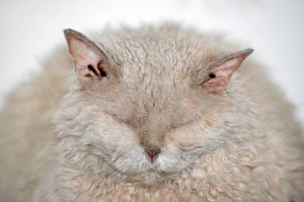 Gato con sobrepeso, muy gordo