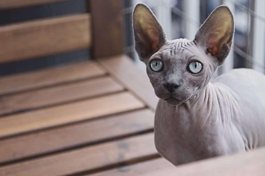 Hermoso gato egiocio