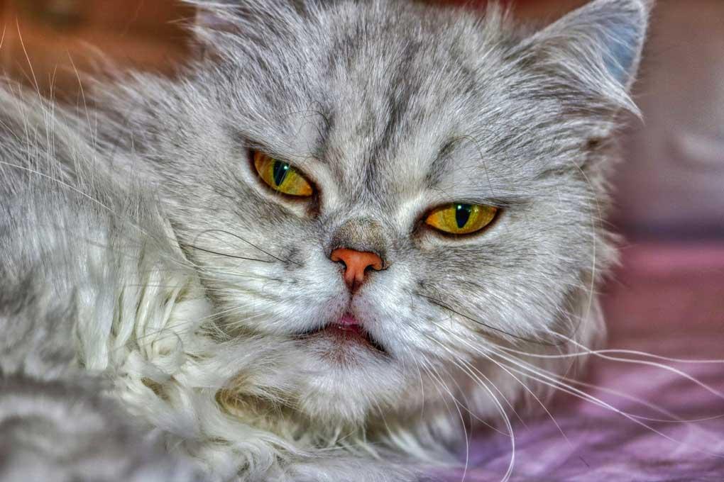 Cara de Gato persa