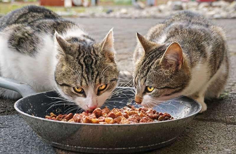 Gatos comiendo alimento húmedo