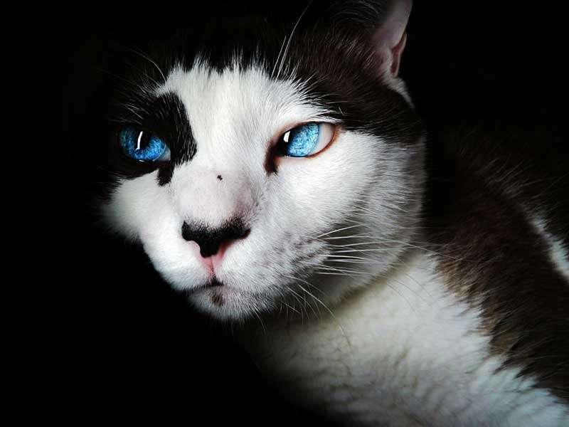 Gato blanco y negro, ojos azules