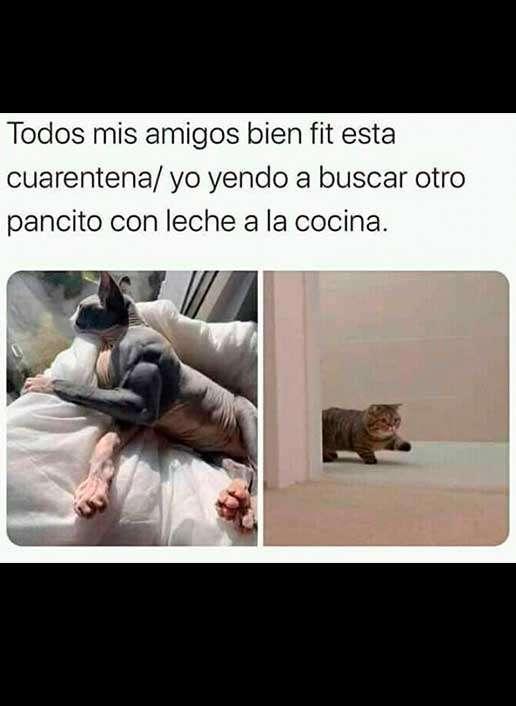 Meme, pancito gato