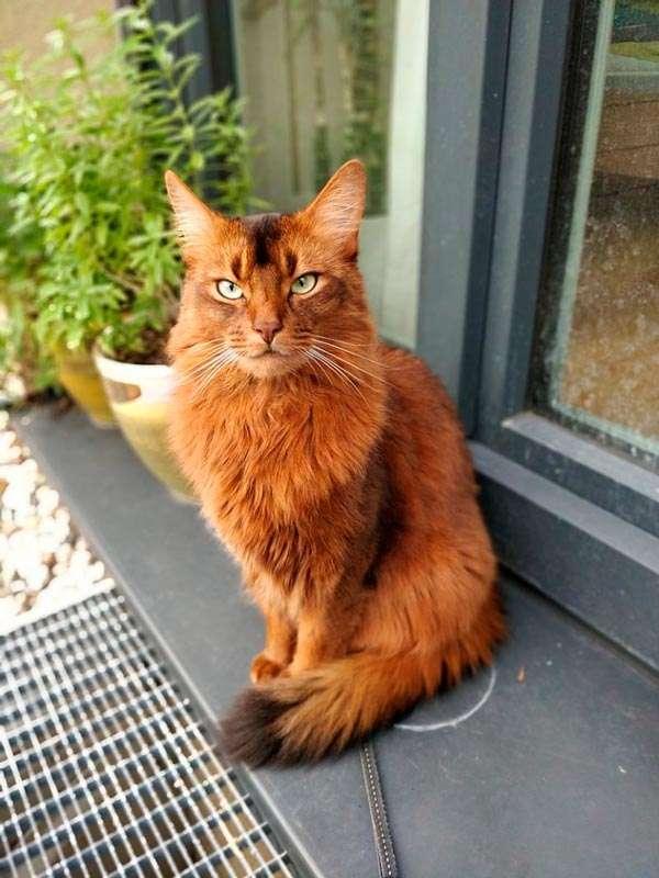 Gato Somalí de mirada enojada