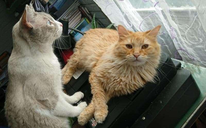 Dos gatos ronroneadores
