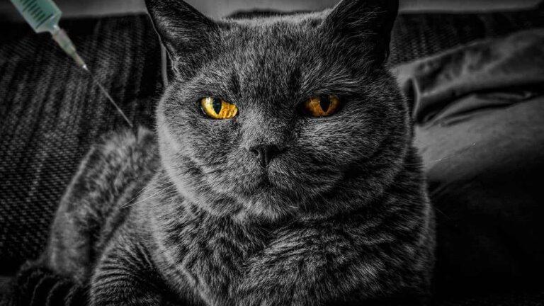 Los gatos ya pueden ser vacunados contra COVID-19, en Rusia